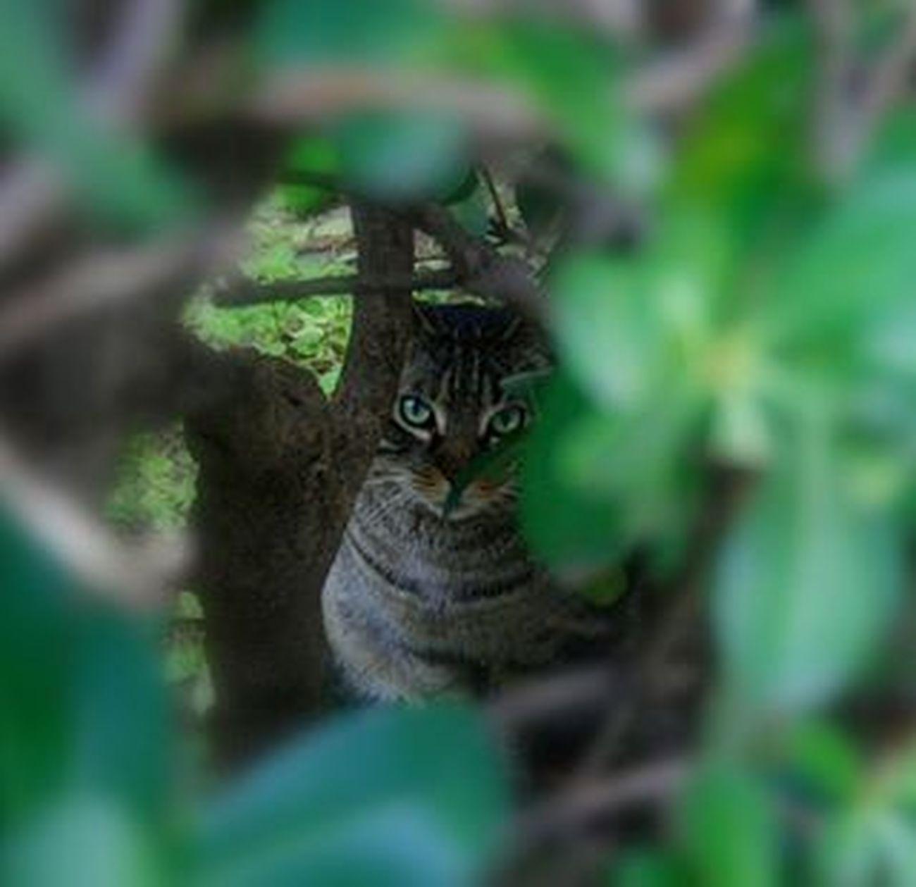 Hide and Seek ! Hideandseek Cat Gatto Katze Kitty Micio Miao Meow Green Verde Greeneyes Animals Pet Bush Hiding Nascondino Gatti Italy Occhiverdi Animales Instacat Picoftheday Grumpycat grumpy