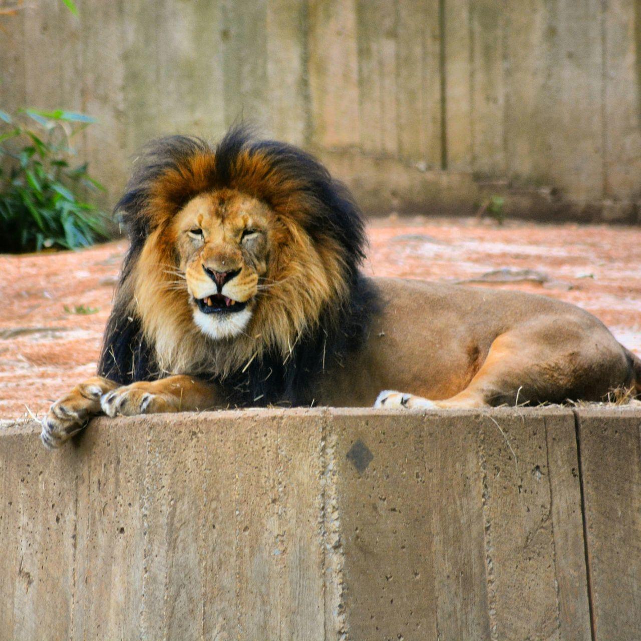 Beautiful stock photos of lion, Animal, Animal Hair, Animal Themes, Close-Up