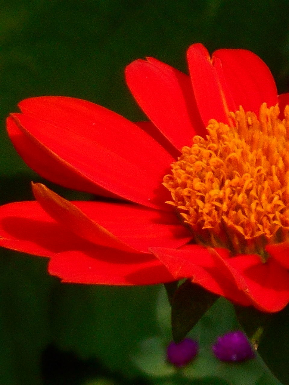 flower, petal, flower head, growth, freshness, fragility, beauty in nature, red, nature, plant, close-up, no people, blooming, pollen, outdoors, day, zinnia