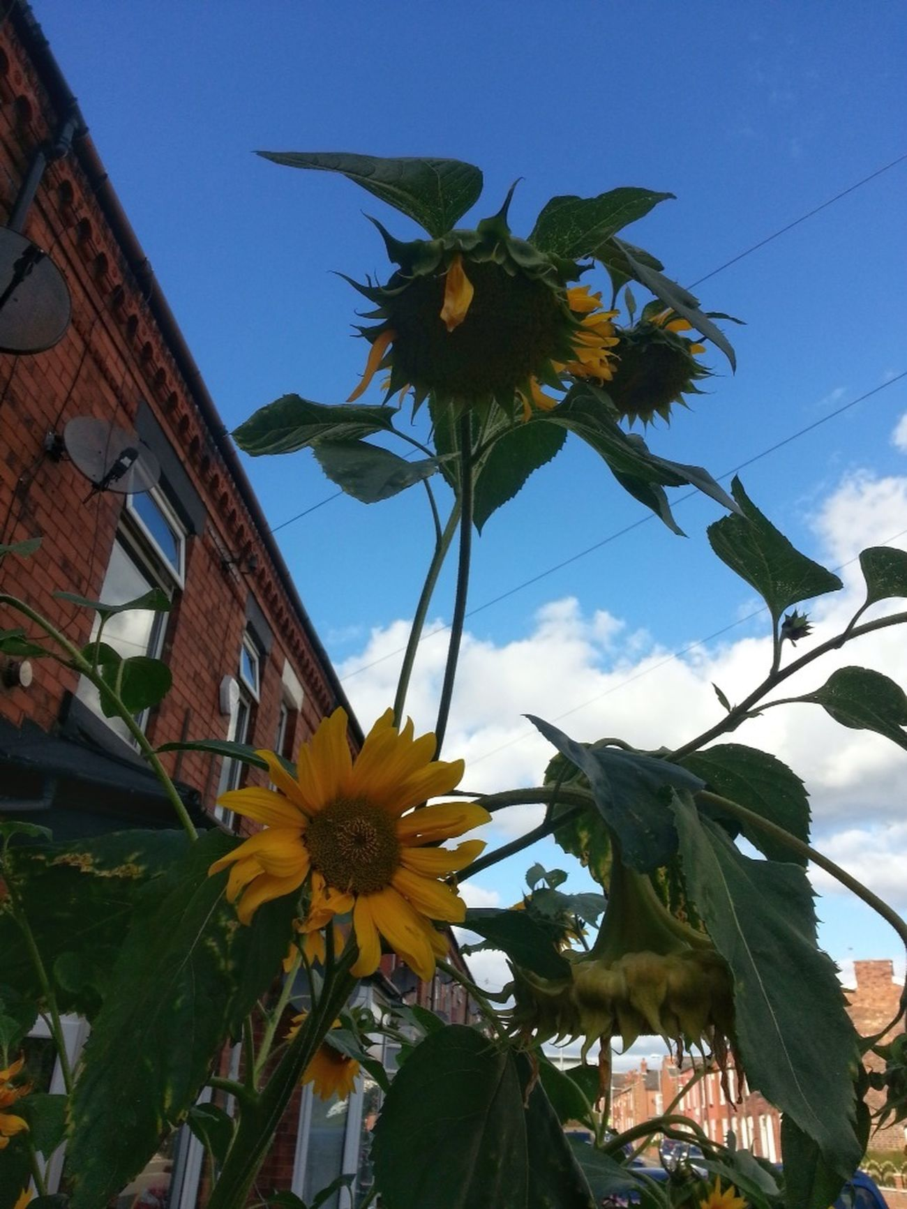 More Of The Same Sunflowers🌻 Urban Exploration Good Morning! Blue Sky Autumnbeauty Different Perspective Flowers For My Friends