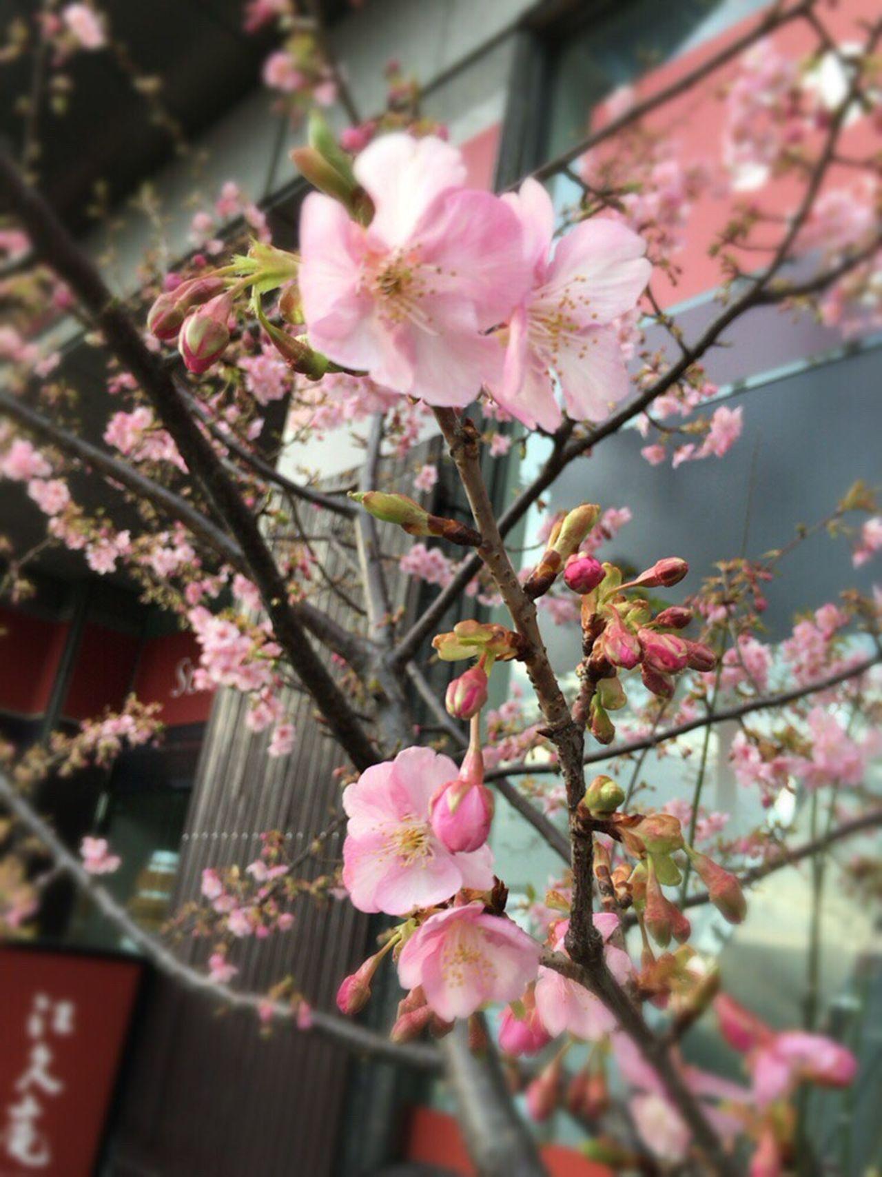 Kyoto Sakura 2017 Kyoto Sakura Kyoto Spling Kyoto Spling Flower Sakura 2017 Kyoto Cherry Blossom Cherry Blossoms Kyoto,japan Sakura Cherry Blossom Kyoto City
