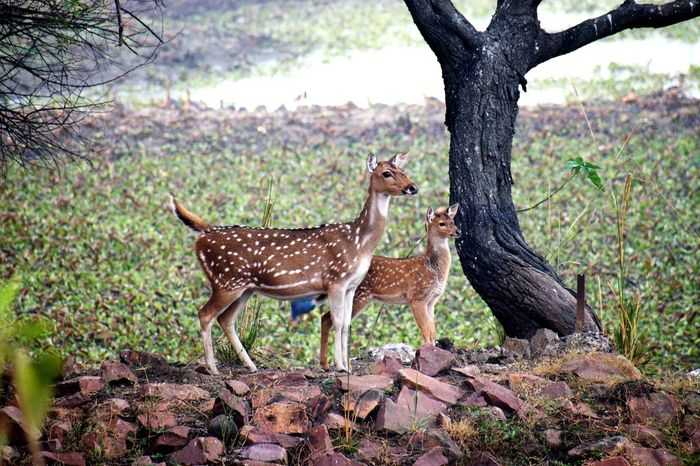 Cheetal Mother with her fawn Animals In The Wild Animal Photography Deer Deers Deer Family Cheetal Chital Fawn Animal Wildlife Animals In The Wild Tree Nature Animal Themes Animal No People Day Outdoors Mammal Standing Beauty In Nature
