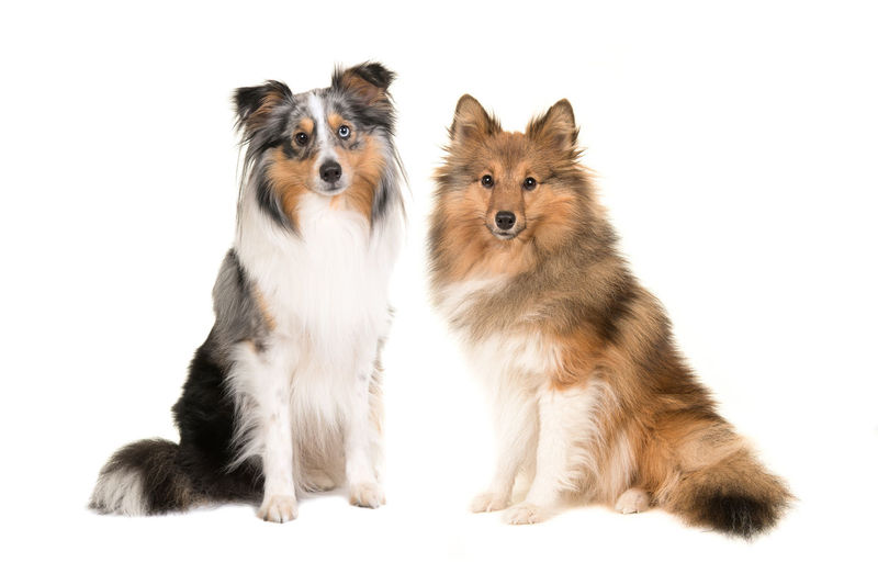 Two shetland sheepdogs in different colors facing the camera isolated on a white background Dogs Looking At Camera Animal Animal Themes Blue Merle Dogs Blue Merle Sheltie Cut Out Dog Pet Pets Sable Sheltie Shetland Sheepdog Sitting Studio Shot Togetherness White Background