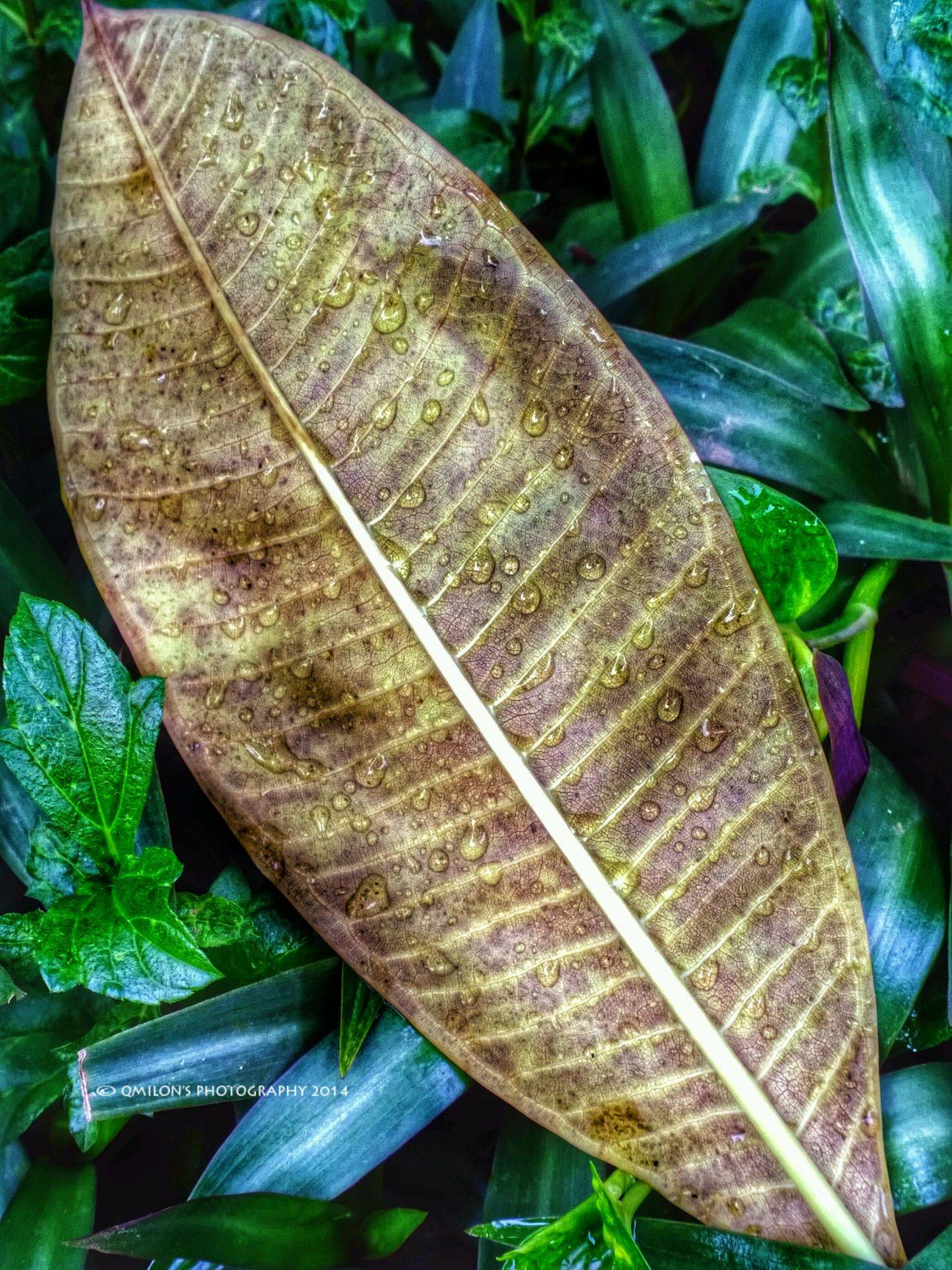 Enjoying The Rain Drops Fall Leaves DropletsCreators EyeEm Best Shots - Nature
