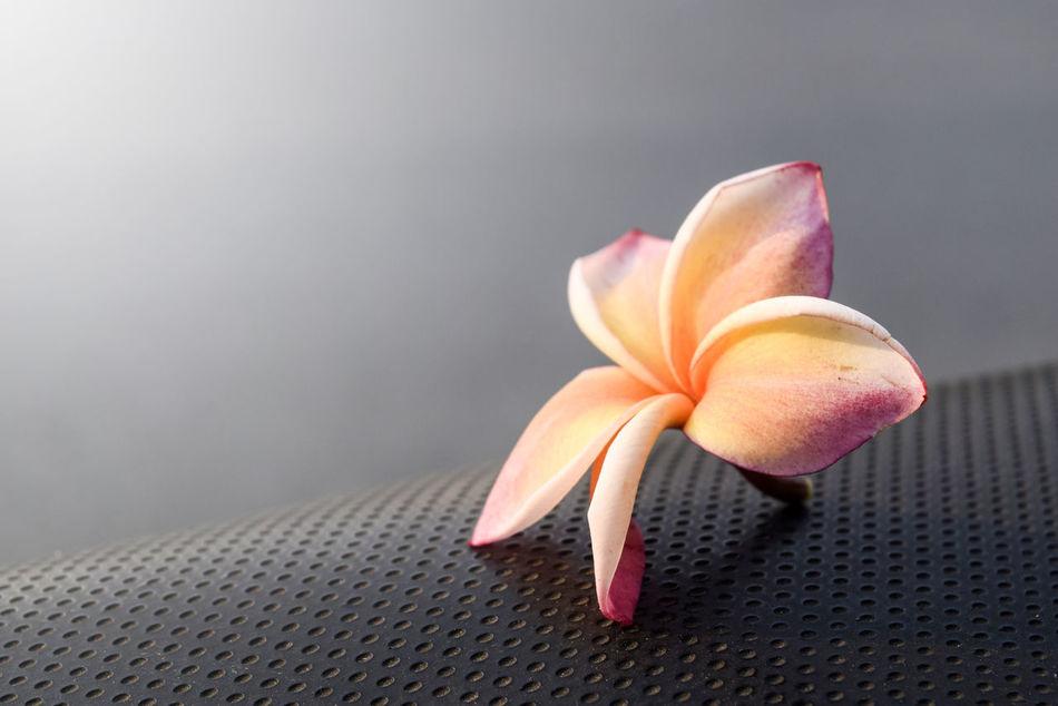 Close-up Day Flower Flower Head Fragility Frangipani Freshness Indoors  No People Petal