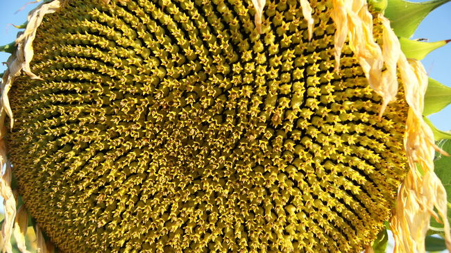 Close-up Day Flower Macro Nature No People Outdoors Sunflower Textured  Yellow Yellow Flower