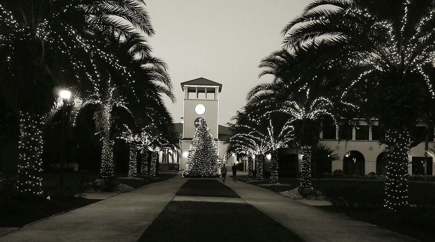 Sky Tree Outdoors Tranquility Night Florida Palm Tree Palm Trees College Campus Monochrome Photography Christmas Lights Christmas Decorations Saint Leo Univeristy Christmas Tree Christmas Decoration Christmas Pretty Tree