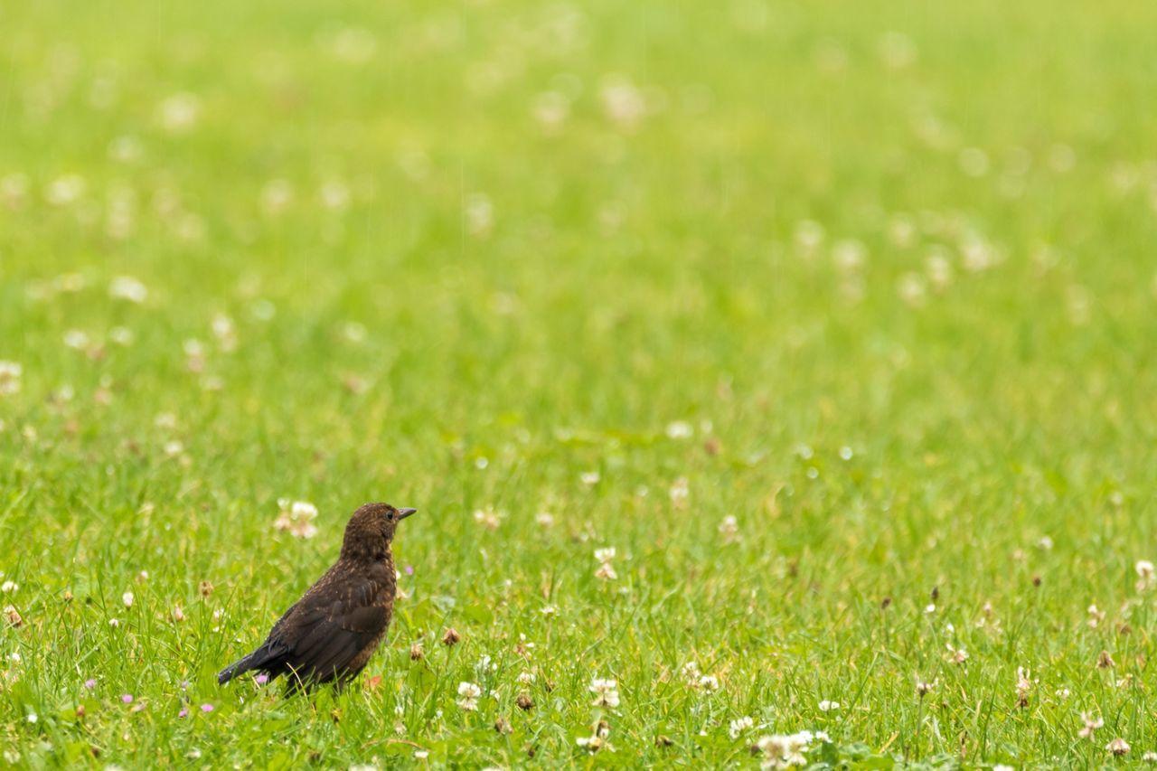 Female Blackbird in Grassfield