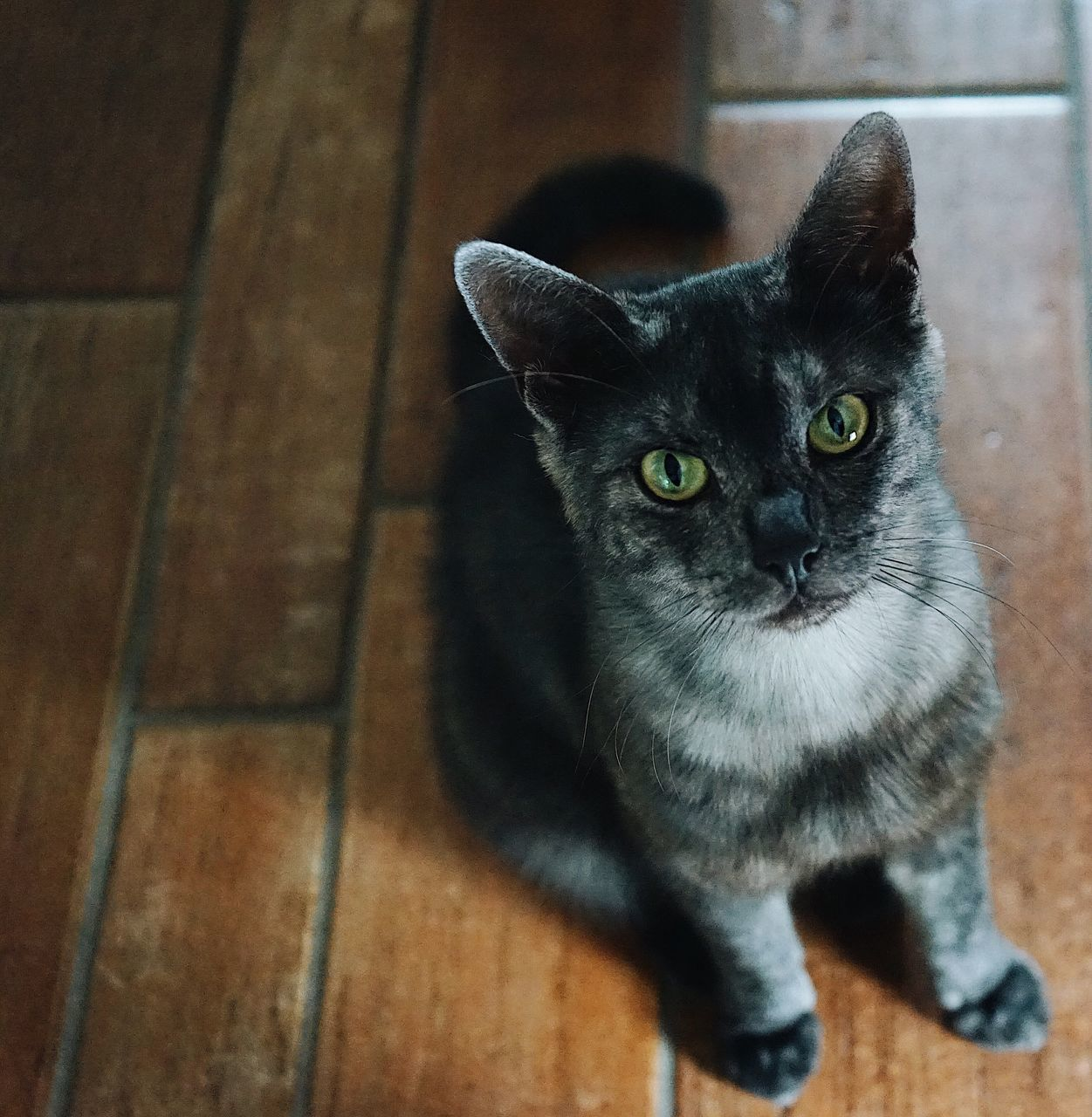 domestic cat, pets, domestic animals, one animal, mammal, animal themes, feline, looking at camera, indoors, no people, portrait, sitting, day, close-up