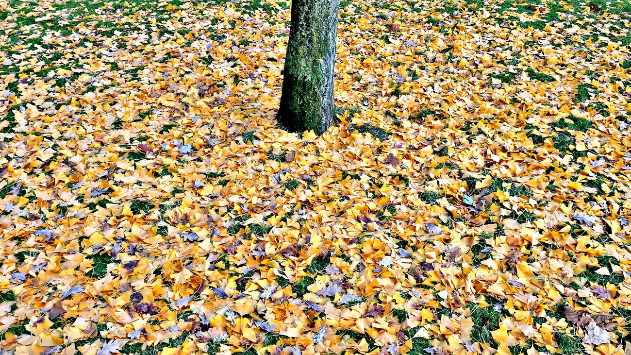 Autumn Leaves Fall Leaves Falltime Leaf Autumn EyeEm Best Shots - Autumn / Fall Leaves🌿 Leaves_collection Leafporn Leaf Vein Autumn Colors Leaves Gingo Gingo Tree Nature_collection EyeEm Best Shots Epic Shot Photography Naturelovers Awesome_shots Eye4photography  EyeEm Nature Lover Beauty In Nature Nature Photography EpicShotPhotography EyeEm Best Shots - Nature