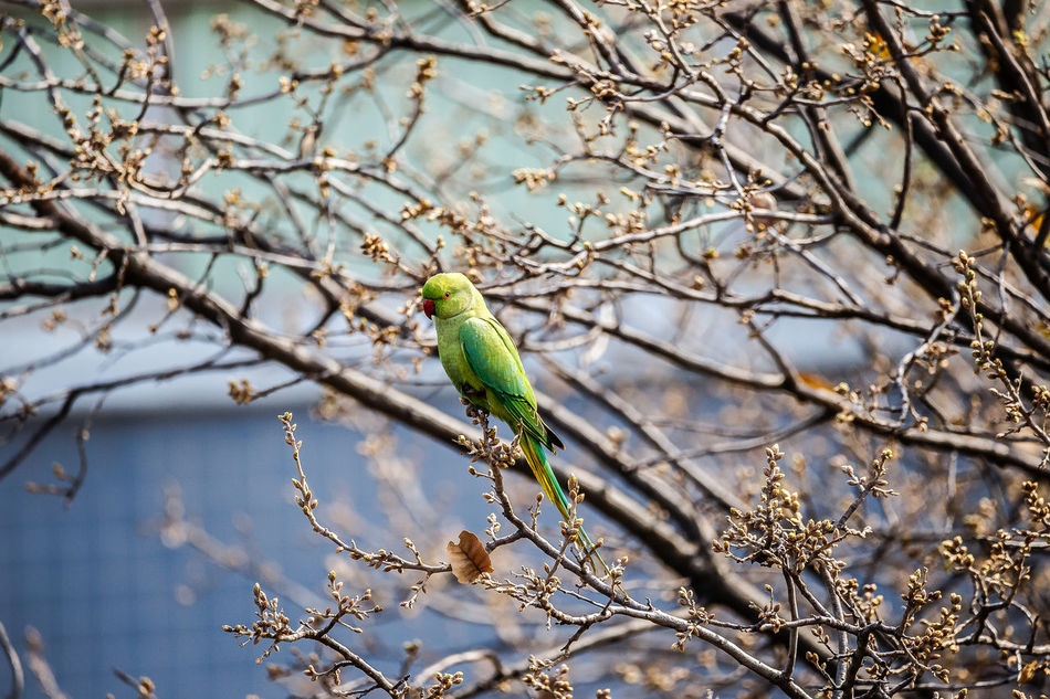 Animal Themes Animal Wildlife Animals In The Wild Bare Tree Beauty In Nature Bird Bird Photography Day Green Nature One Animal Outdoors Rose Ringed Parakeets Tree