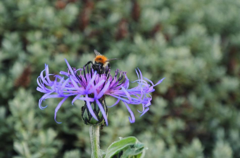 Humbleebee. Flower Insect Animals In The Wild Wildlife Purple Beauty In Nature Flower Head Close-up Nature Plant Bee Humble-bee