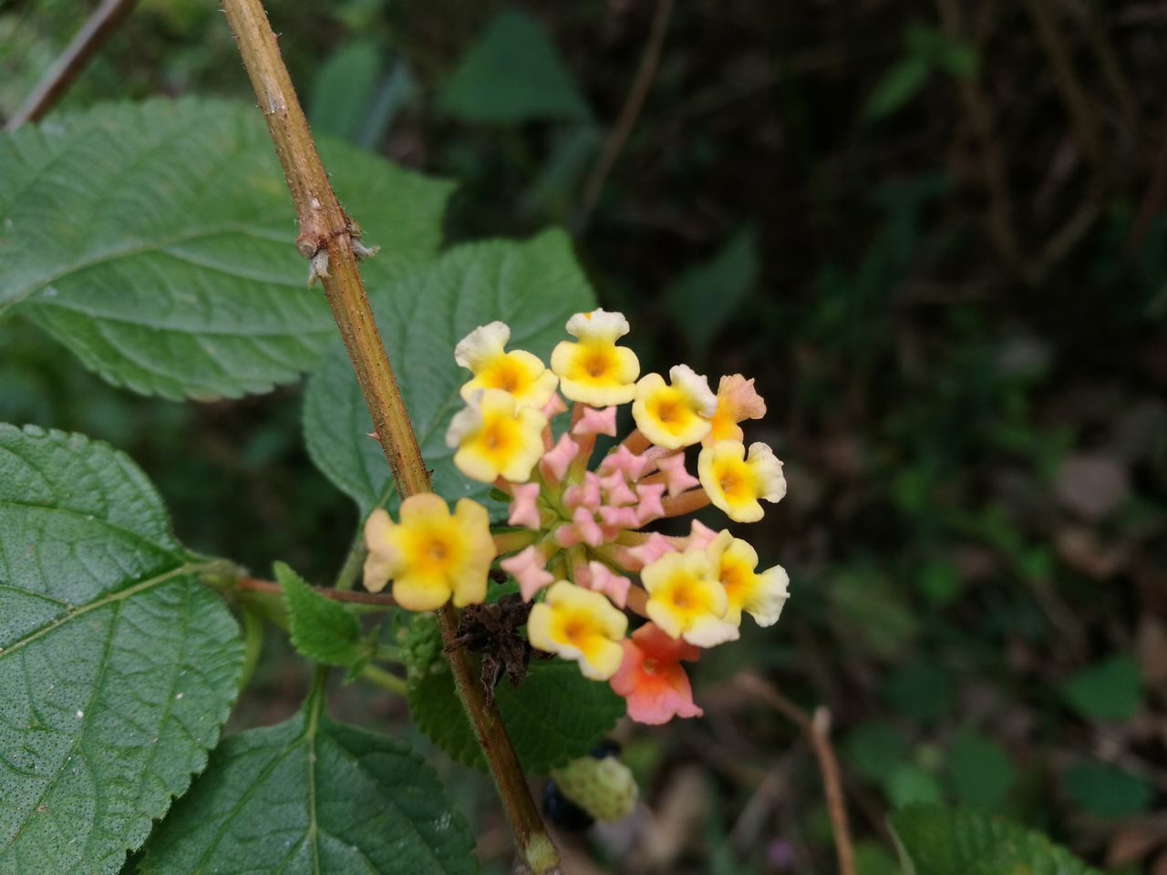 plant, growth, leaf, flower, nature, fragility, beauty in nature, freshness, petal, lantana camara, green color, close-up, day, outdoors, flower head, no people, blooming