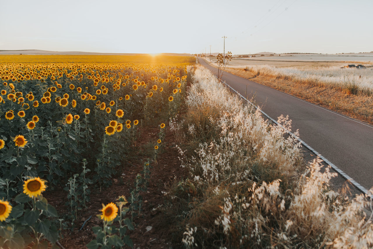 Agricultural Land Agriculture Alentejo Road Roadtrip Sunflower Sunflowers Sunflowers Field Sunflowers🌻 Sunflower🌻 Sunset