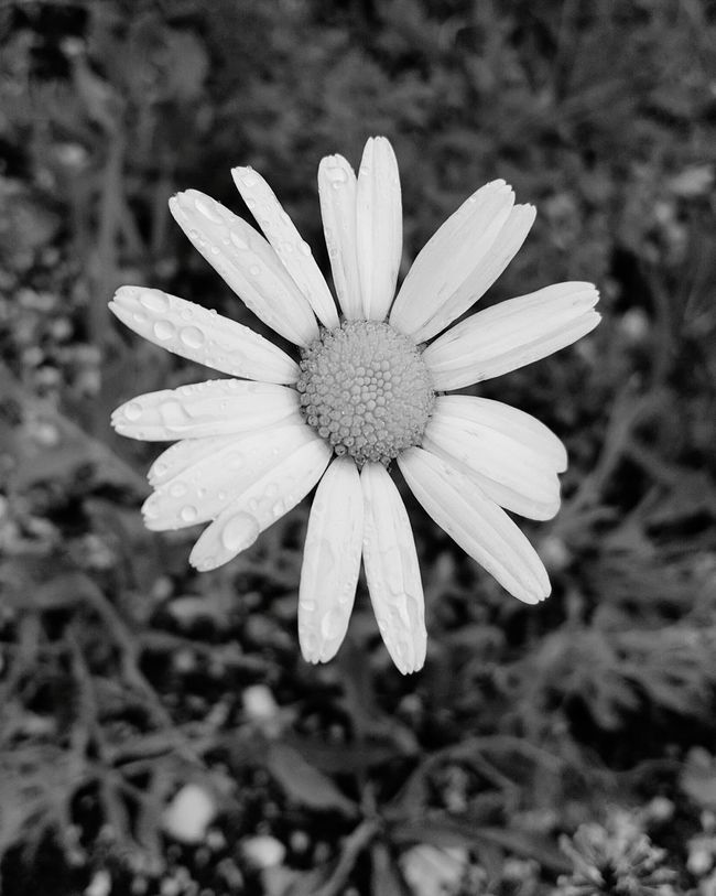 Dont pull away the colours from the nat Flower Flower Head Close-up Nature Freshness Blackandwhite Single Flower Beauty In Nature Flower Freshness Fragility Petal Flower Head Growth Daisy Close-up Single Flower Beauty In Nature Focus On Foreground Nature Drop Wet Stem Water Plant