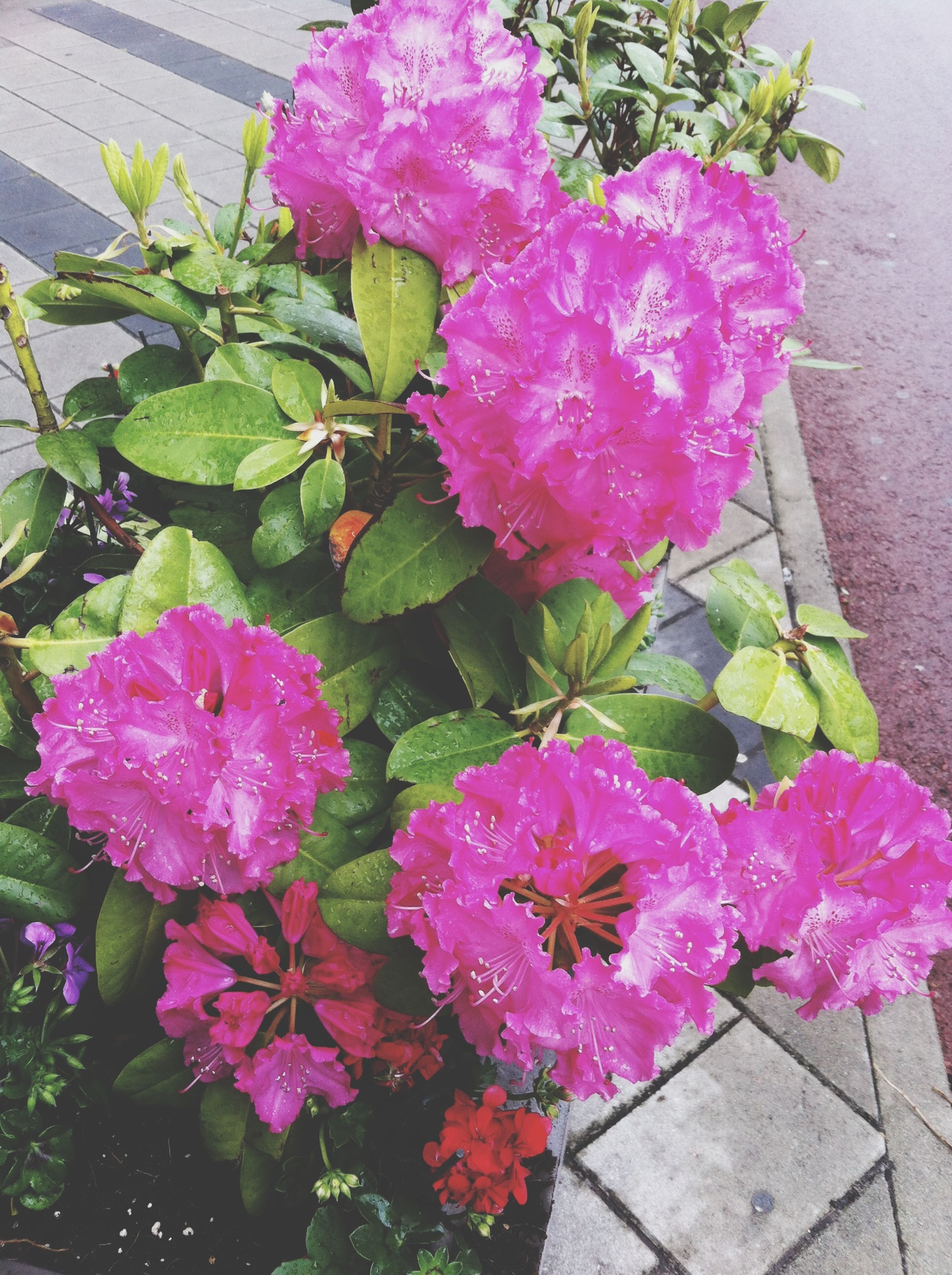 flower, freshness, fragility, pink color, petal, growth, beauty in nature, plant, blooming, flower head, nature, leaf, in bloom, high angle view, blossom, springtime, bunch of flowers, potted plant, pink, outdoors