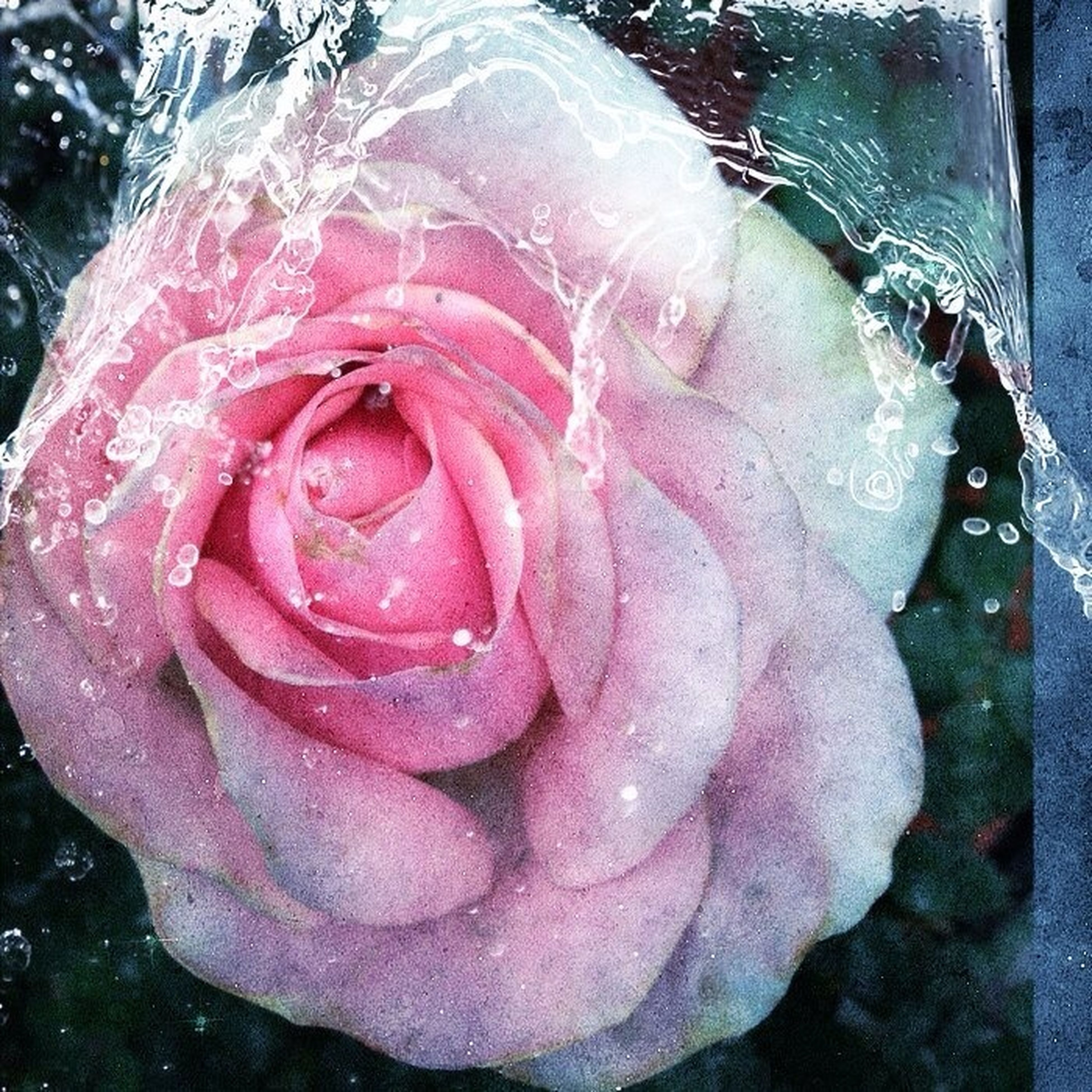 water, petal, freshness, flower, drop, flower head, fragility, wet, close-up, rose - flower, single flower, pink color, beauty in nature, nature, rain, ice, blooming, rose, purity, outdoors