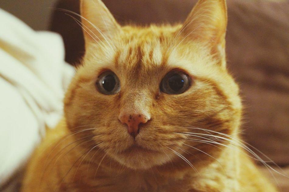 patapouf Chat Cat♡ Catlover ♡ Cat Les Yeux De Chat