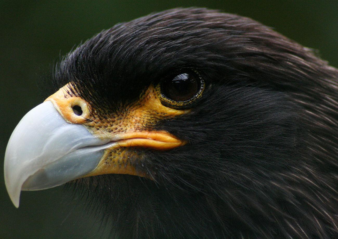 Cara Cara closeup Animal Eye Animal Themes Animal Wildlife Animals In The Wild Beak Bird Bird Of Prey Close-up Day Hawk Nature No People One Animal Outdoors