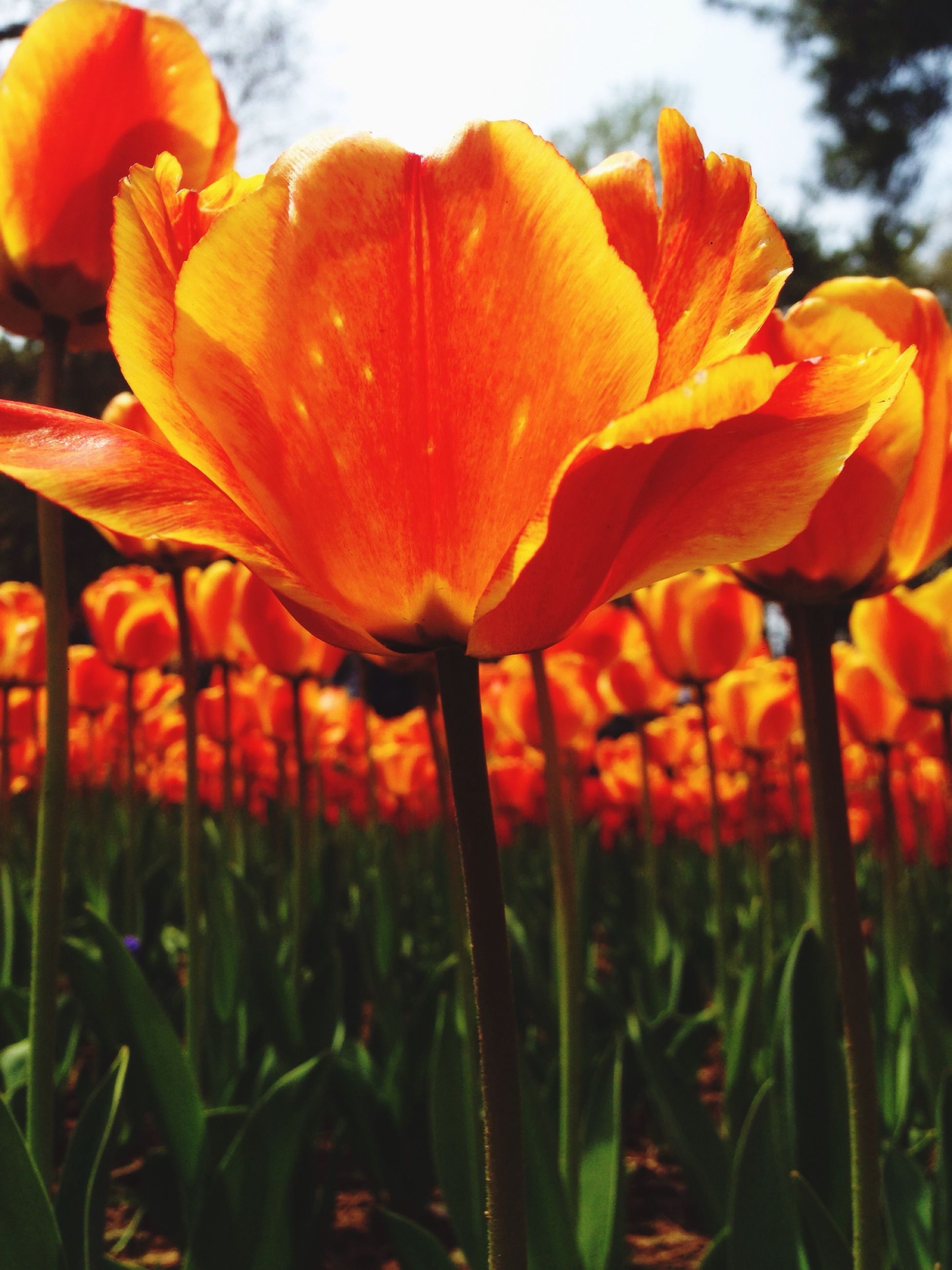 flower, freshness, growth, fragility, petal, flower head, beauty in nature, plant, nature, orange color, field, blooming, focus on foreground, stem, close-up, tulip, red, poppy, sky, in bloom
