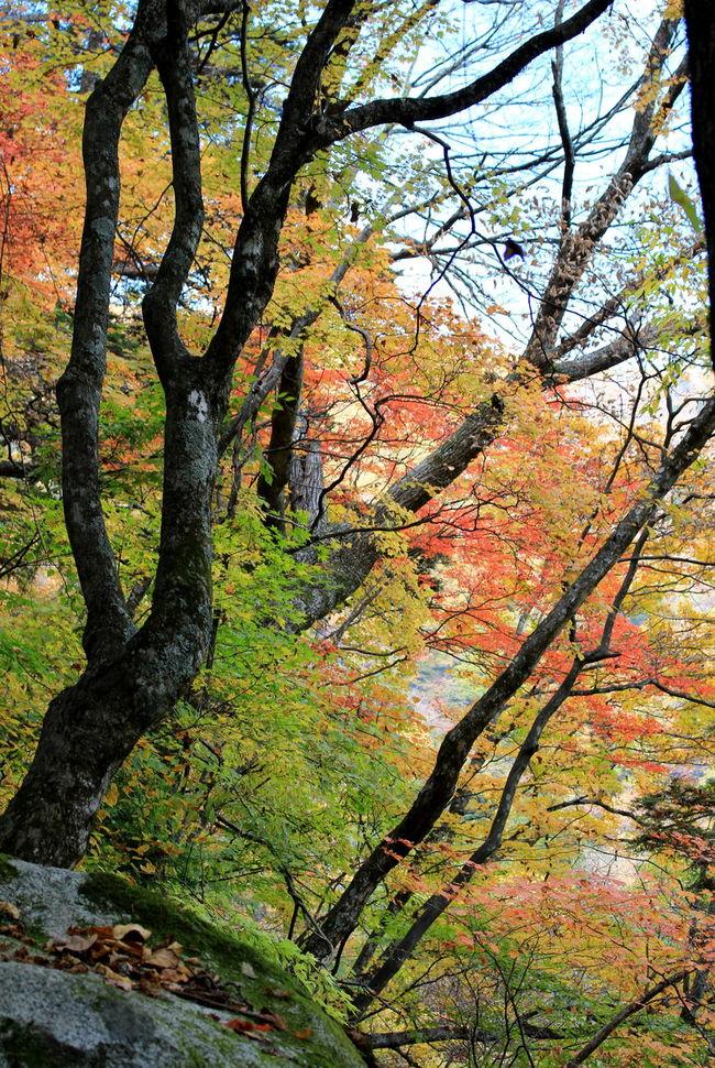 Autumn Autumn Colors Colorful Fall Gorgeous Hiking Mountain Nature Yamanashi もみじ もみじ市 尾白川渓谷 白州 紅葉 紅葉狩り