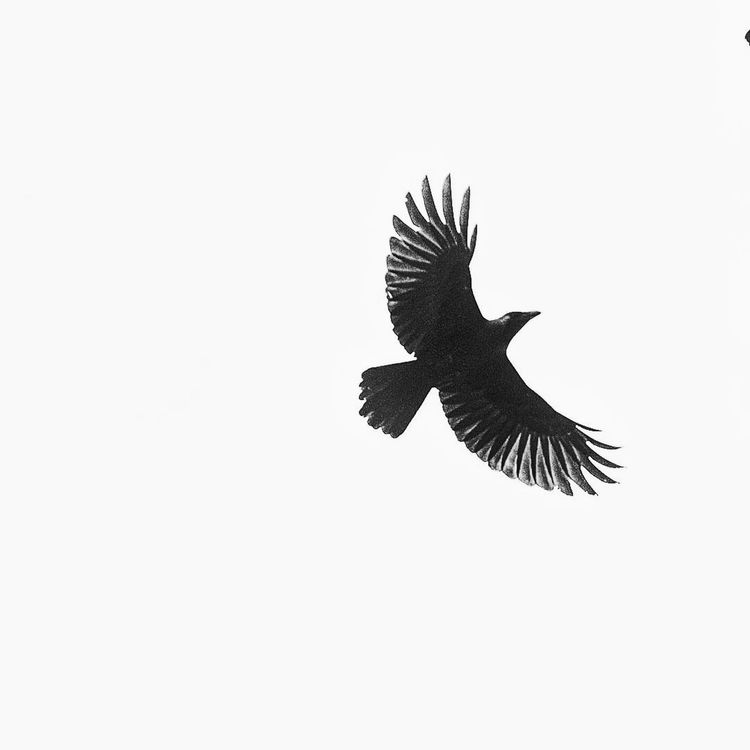 Monochrome Photography Indiaphotoproject Brasil Spread Wings Wildlife Beauty In Nature Nature The Great Outdoors - 2016 EyeEm Awards DSLR The Week On Eyem DSLR Photography Like4like Nature_collection Close-up Macro_collection EyeEm Nature Lover Wildlife_perfection Best Of EyeEm The Week Of Eyeem EyeEm Best Shots The Purist (no Edit, No Filter) Scenics The Week On Eyem Spraying DSLR Photography Crow