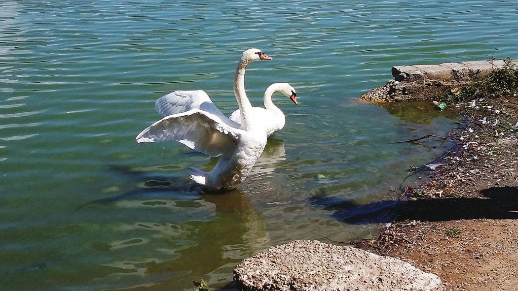 Green Blue Water Swans Morning Photo EyeEm Nature Lover