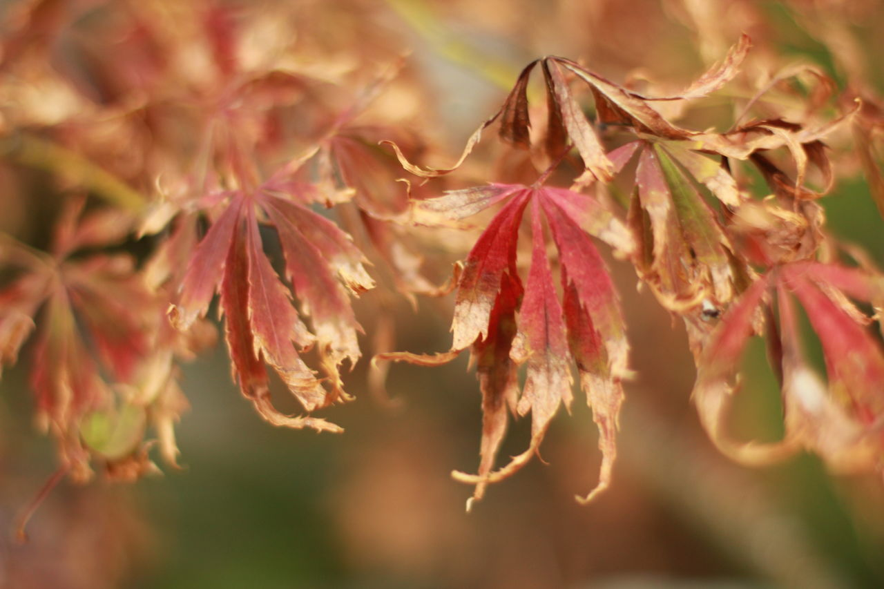 Japanese maple leaves red up close Autumn Beauty In Nature Branch Change Close-up Day Foliage, Vegetation, Plants, Green, Leaves, Leafage, Undergrowth, Underbrush, Plant Life, Flora Growth Japanese Maple Japanese Maple Tree Leaf Maple Maple Leaf Nature No People Outdoors Shallow Focus Tree