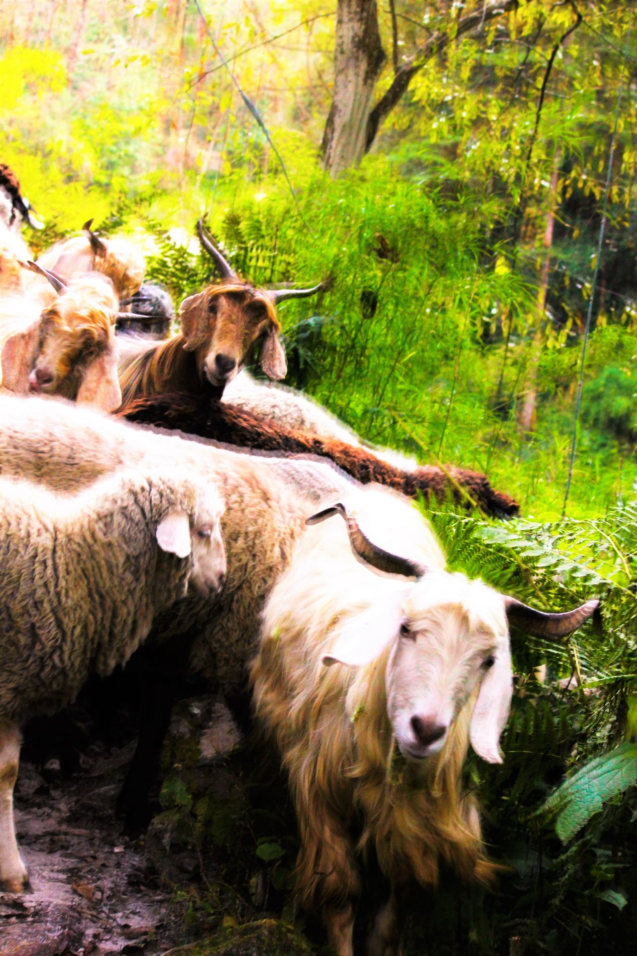 Hello there, nice to see you, up above the world so high. Enjoy Animal Themes Buzzing Sheep Mammal Mountain Path Mountain Sheep Nature Outdoors Passingthrough  Sondertransport Togetherness