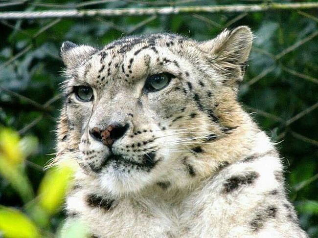 Snowleopard Snow Zoo Natural Beauty Looking Stare Beautiful Animal Zoophotography Wildlife & Nature Wild