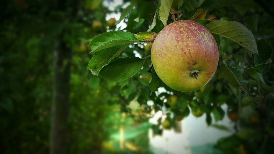 In My Garden Apple Appel Tree Tree Food Deceptively Simple My World Of Food A Taste Of Life Nature No People The Essence Of Summer