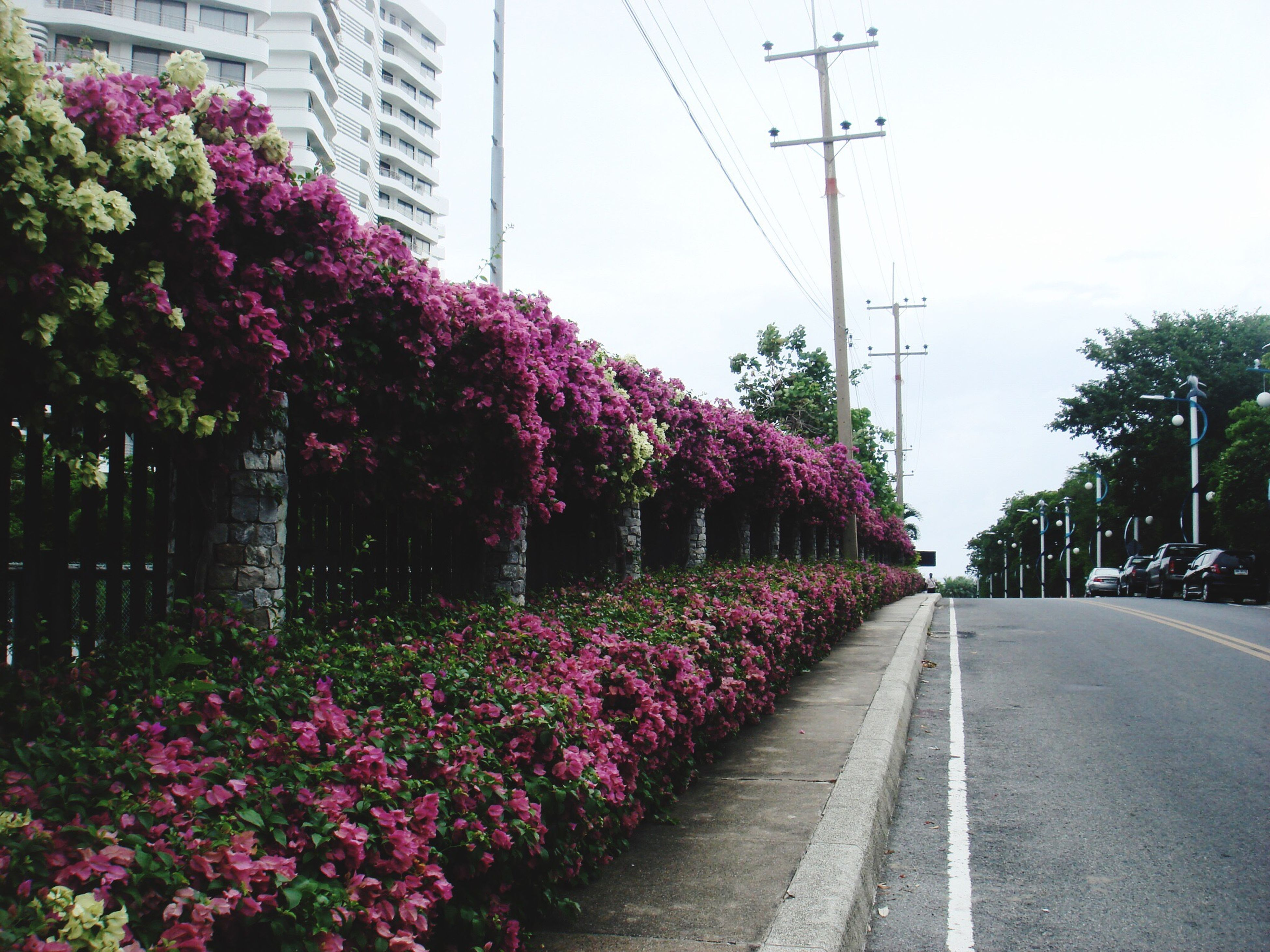 flower, freshness, building exterior, growth, fragility, road, built structure, power line, the way forward, plant, architecture, street, transportation, tree, clear sky, pink color, nature, city, day, outdoors