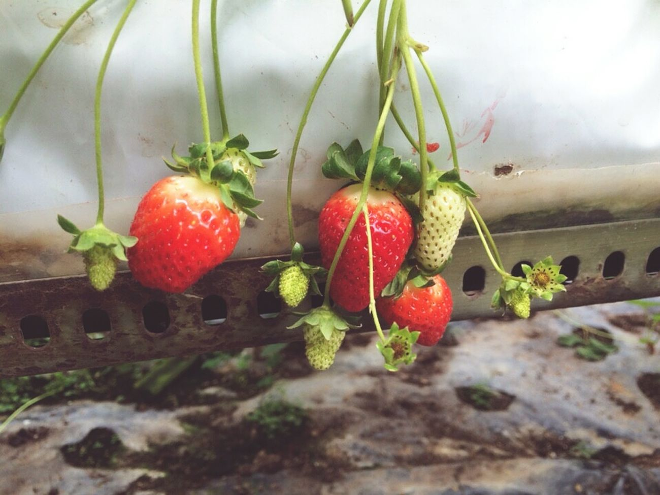 Fresh and yum Strawberriesgarden Cameron Highlands