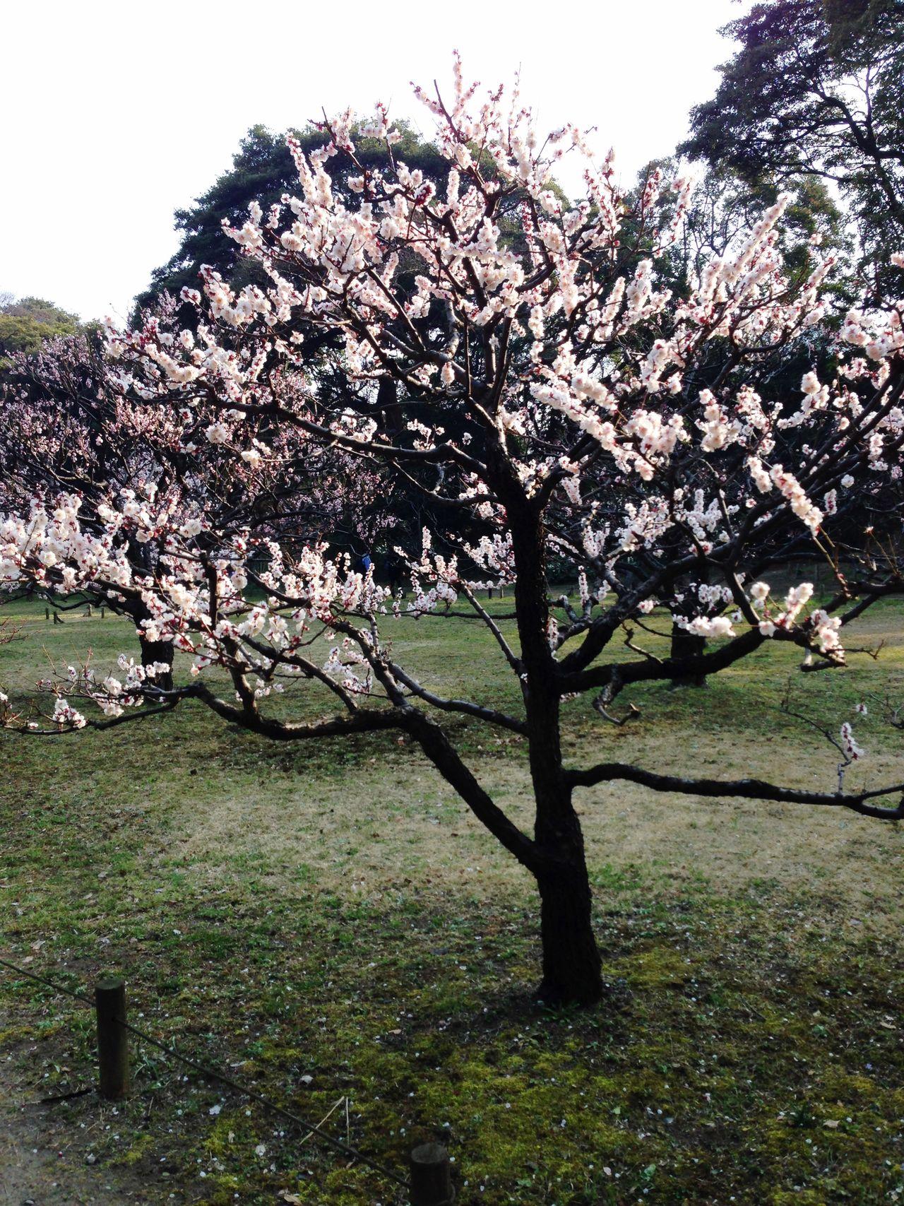 Trees Tokyo,Japan Japanese Spring Blossom