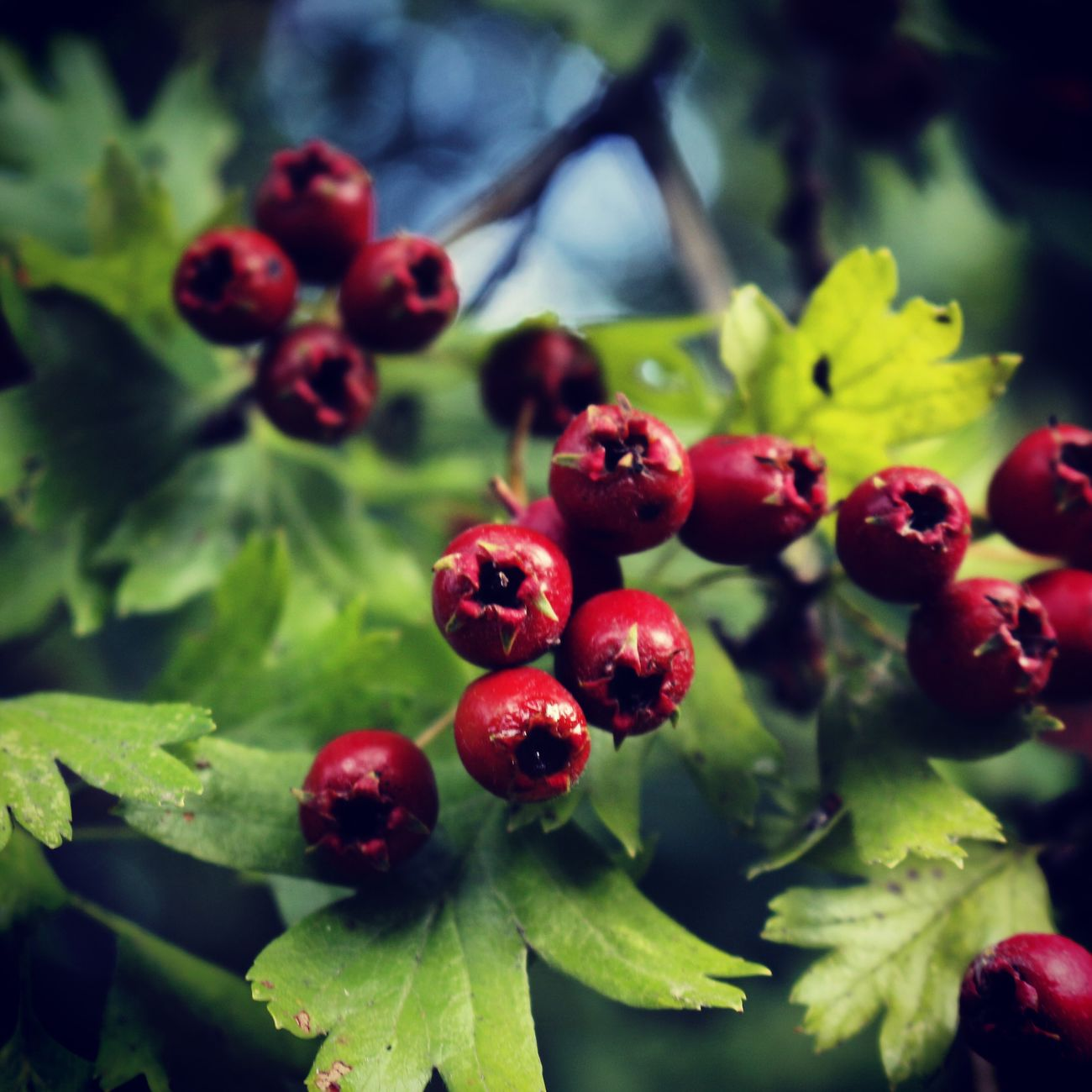 Red Nature Berrys