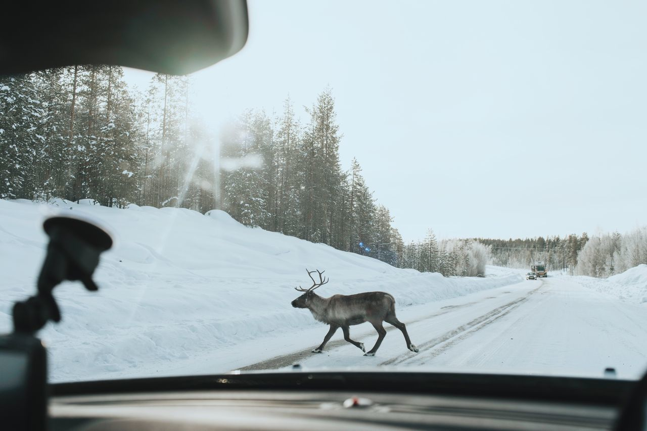 Reindeer On Snow Covered Road Seen From Car Windshield