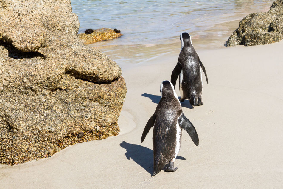 Two Penguins walking into the sea African Penguin Animal Themes Animal Wildlife Animals In The Wild Beach Bird Boulder Beach Day Flightless Jackass Penguin Nature No People Outdoors Penguin Rock - Object Sea Sea Life South Africa Togetherness Two Waddling Water Zoology