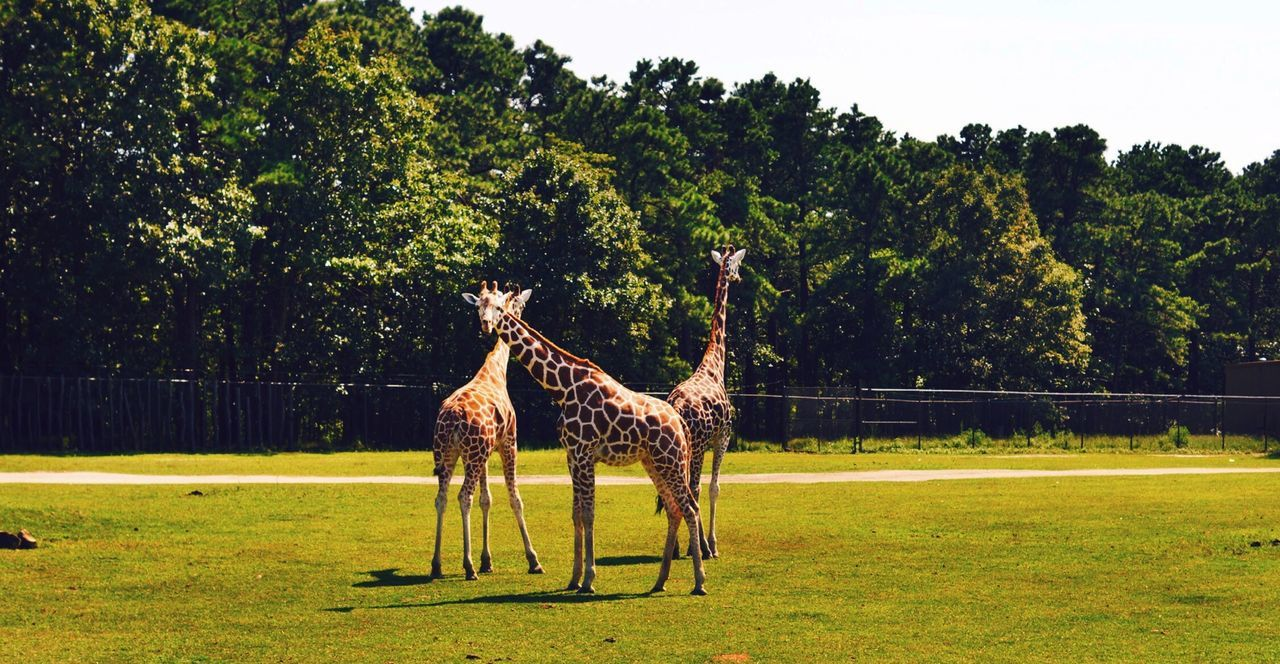 Beautiful stock photos of giraffe, Animal Themes, Clear Sky, Countryside, Day