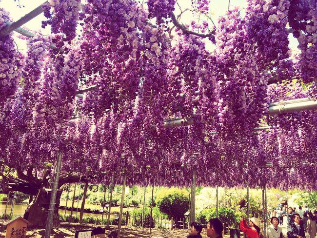 Purple Purple Flower Look Like Grapes Nature EyeEm Gallery IPhoneography Trees Beautiful