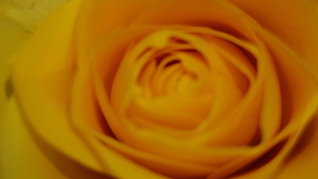 flower, petal, nature, beauty in nature, fragility, freshness, rose - flower, flower head, full frame, yellow, softness, growth, love, beauty, backgrounds, no people, blooming, close-up, plant