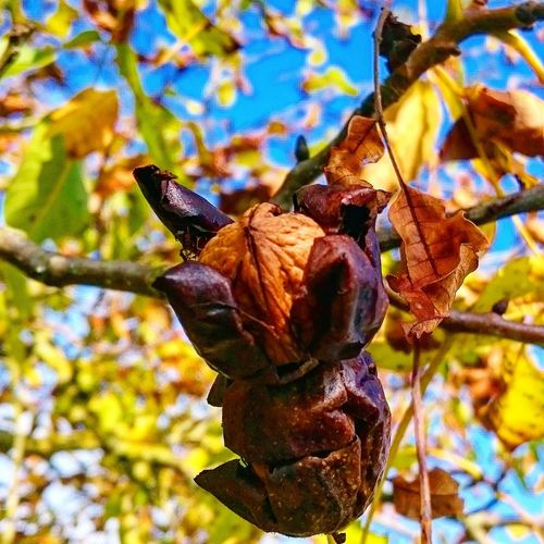 Autumn Autumn Botany Close Up Close-up Colorful Fall Leaf Leaves No People Nuts Tree Walnut