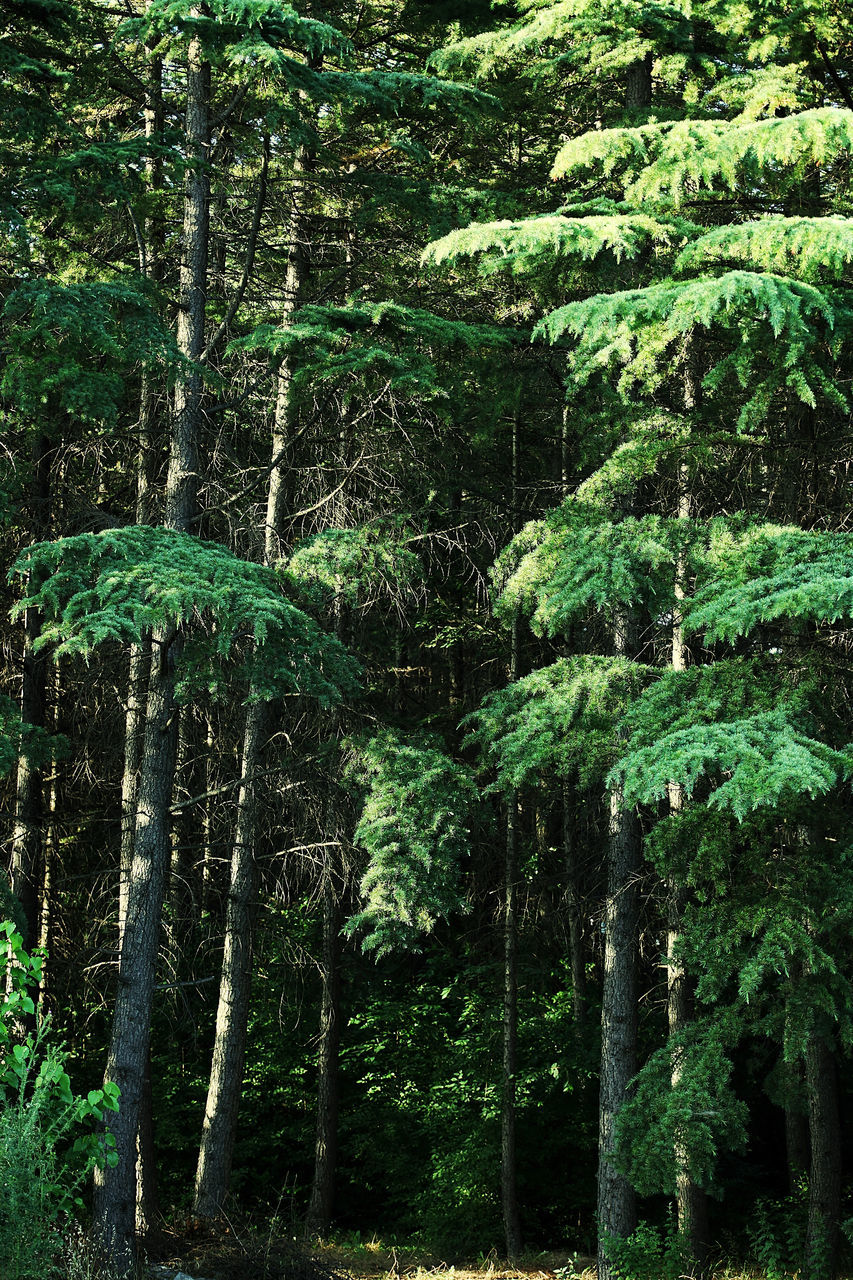 forest, tree, green color, nature, growth, no people, outdoors, tree trunk, day, beauty in nature