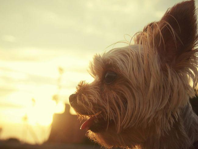 Ocha enjoy the sunset🐶🐶 Sunset Ocha Yorkshire Terrier Beautiful Moment Enjoy Life お茶
