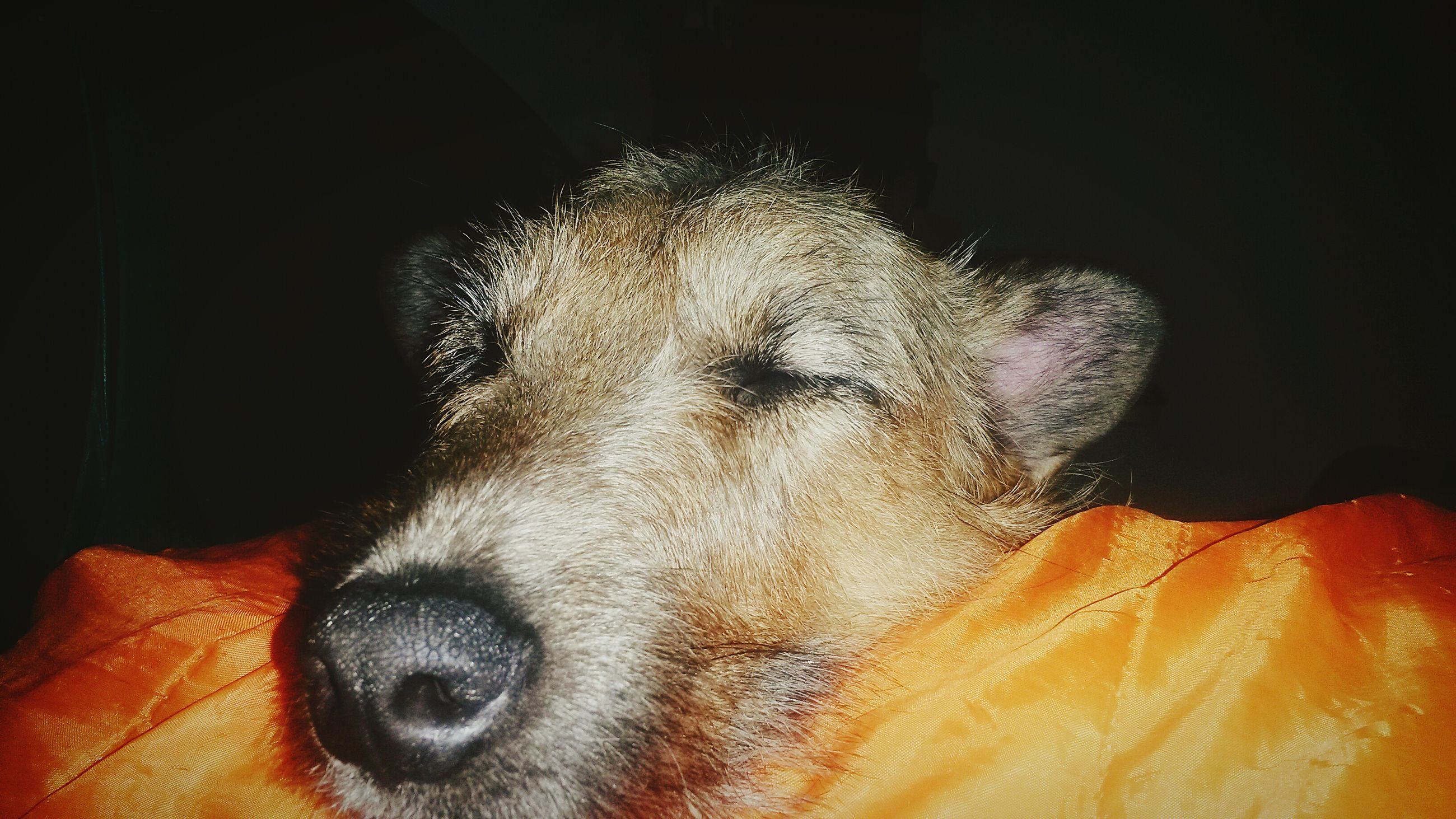 one animal, domestic animals, animal themes, dog, pets, mammal, close-up, animal head, animal body part, indoors, part of, relaxation, no people, sleeping, eyes closed, night, lying down, horse, looking away, front view