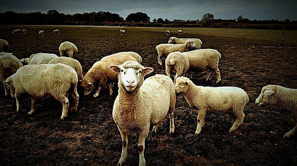 """Ewe looking at me??"" Sheep Sheepfarm Farm Life Farmland Animals Animal Photography Livestock You Looking At Me????? On The Farm Down On The Farm Country Life Nature Nature Photography EyeEm Nature Lover Farm"