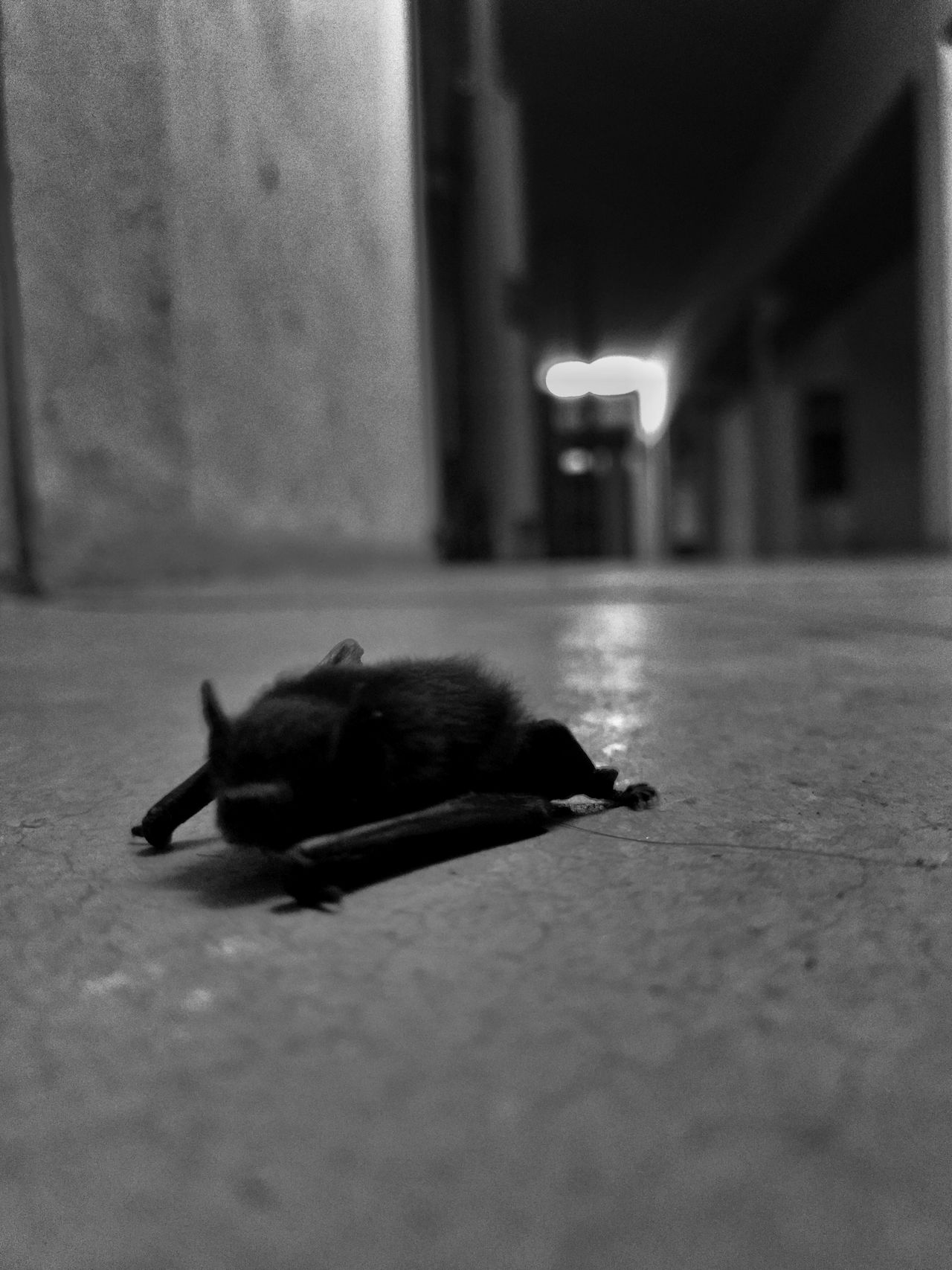 Flying crawler Bat Nocturnal Flying Mammals Nightphotography Beauty In Nature Blackandwhite Photography Mobile Photography Batman ❤ Bats Batsinthenight