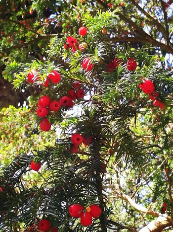 Red Tree Day Outdoors Nature Growth No People Beauty In Nature Low Angle View Branch Fruit Close-up Freshness