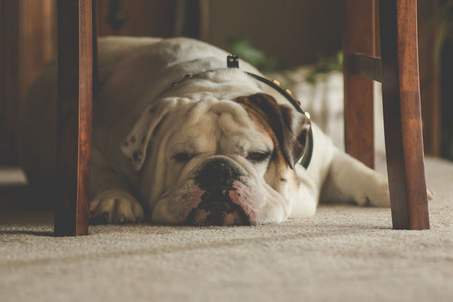 Animal Animal Body Part Animal Head  Bulldog Bulldogs Bulldogs ♥ Bullies Close-up Day Dog Dogs Dogs Of EyeEm Domestic Animals English Bulldog Focus On Foreground Lying Down My Dog No People Pets Portrait Relaxation Resting Selective Focus Showcase June The Week On EyeEm