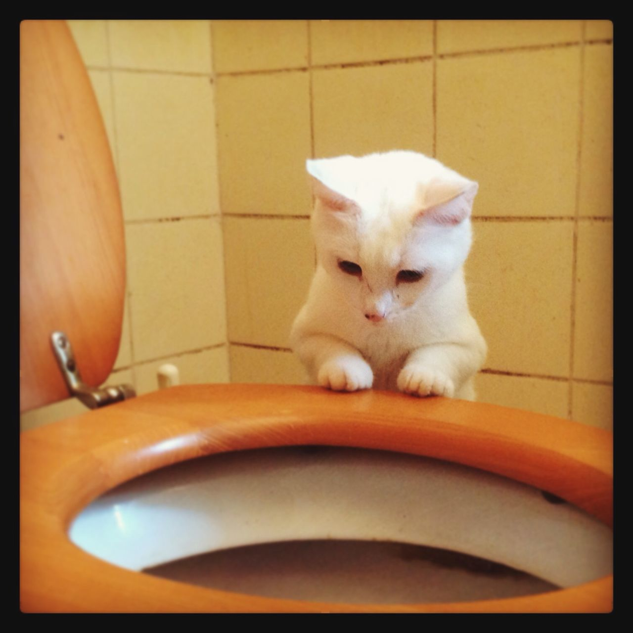 Xiaobai investigating the loo. Cat Chat Loo Xiaobai Wc Bathroom First Eyeem Photo Whitecat