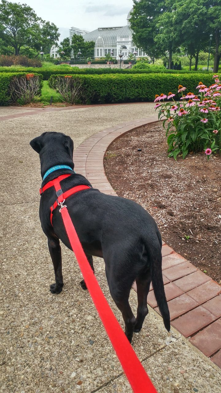Rear View Of Black Labrador On Footpath At Park